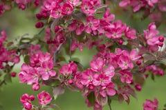 Filial av att blomma Apple träd 01 Arkivfoto