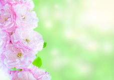 Filial av att blomma det dekorativa körsbärsröda trädet Royaltyfria Bilder