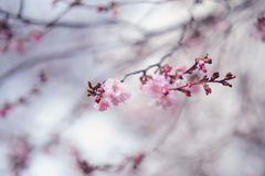 Filial av att blomma sakura Arkivfoton