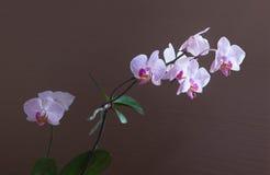 Filial av att blomstra orkidér av mjuk lila färg på den bruna bakgrunden Arkivfoto