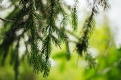 Filial av barrträd i bakgrunden av gröna växter Royaltyfri Fotografi