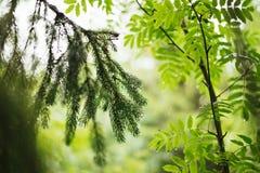 Filial av barrträd i bakgrunden av träd Royaltyfri Foto