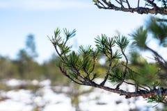Filial av barrträdet med gröna visare Royaltyfri Foto