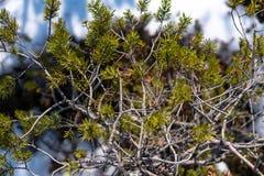 Filial av barrträdet med gröna visare Arkivbilder