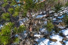 Filial av barrträdet med gröna visare Royaltyfri Fotografi