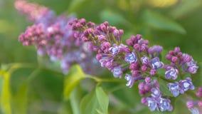 Filial av blommor av lilan Royaltyfri Bild