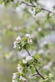Filial av blomningen för äppleträd arkivbilder