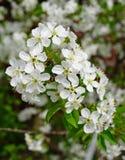 Filial av blomningkörsbäret royaltyfri bild