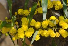 Filial av blomningmimosaträdet i vår Royaltyfri Bild