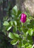 Filial av briaren med den rosa blomman och sidor på suddig bakgrund arkivbilder