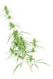 Filial av cannabisväxten med knoppar Royaltyfria Foton