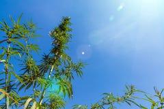 Filial av cannabisväxten med knoppar på grå färg-blått bakgrund royaltyfri foto