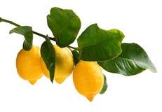 Filial av citroner Royaltyfria Bilder