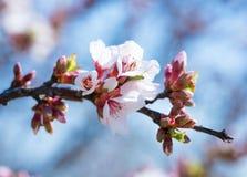 Filial av de blomstra mandlarna mot bakgrunden av den blåa himlen V?r Bakgrund f?r v?rblommablomning fotografering för bildbyråer
