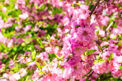 Filial av de japanska körsbärsröda sakura blomningarna Arkivfoton