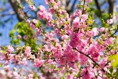 Filial av de japanska körsbärsröda sakura blomningarna Royaltyfri Fotografi