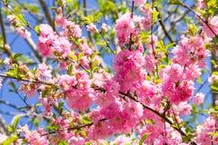 Filial av de japanska körsbärsröda sakura blomningarna Fotografering för Bildbyråer