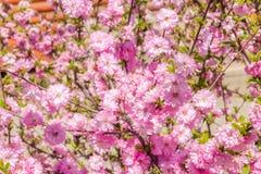 Filial av de japanska körsbärsröda sakura blomningarna Royaltyfria Bilder