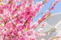 Filial av de japanska körsbärsröda sakura blomningarna Royaltyfri Foto