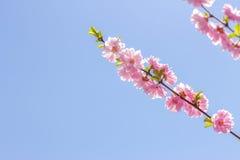 Filial av de japanska körsbärsröda sakura blomningarna Royaltyfria Foton