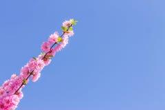 Filial av de japanska körsbärsröda sakura blomningarna Arkivfoto