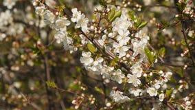 Filial av den blommande körsbäret stock video