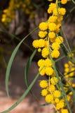 Filial av den gula mimosan Arkivfoton