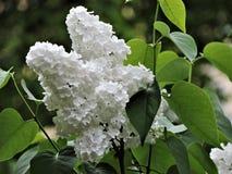 Filial av den härliga vita lilan i vårträdgård! arkivbilder