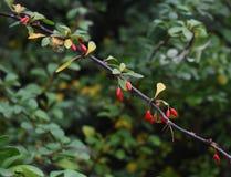 Filial av den japanska Berberisberberisen Thunbergii med mogna röda frukter FamiljBerberidaceae arkivbild