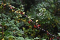 Filial av den japanska Berberisberberisen Thunbergii med mogna röda frukter FamiljBerberidaceae royaltyfri bild