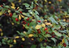 Filial av den japanska Berberisberberisen Thunbergii med mogna röda frukter FamiljBerberidaceae arkivbilder