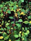 Filial av den japanska Berberisberberisen Thunbergii med mogna röda frukter FamiljBerberidaceae royaltyfri fotografi