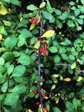 Filial av den japanska Berberisberberisen Thunbergii med mogna röda frukter FamiljBerberidaceae arkivfoto