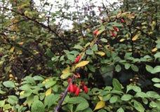 Filial av den japanska Berberisberberisen Thunbergii med mogna röda frukter FamiljBerberidaceae royaltyfri foto