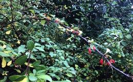 Filial av den japanska Berberisberberisen Thunbergii med mogna röda frukter FamiljBerberidaceae royaltyfria foton
