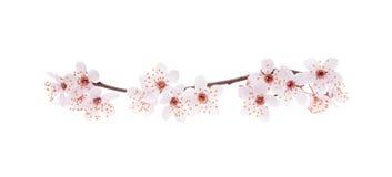 Filial av den japanska körsbäret med blomningen Royaltyfria Foton