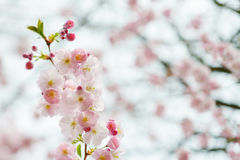 Filial av den japanska körsbäret (Sakura) Arkivbild