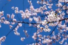 Filial av den körsbärsröda blomningen Arkivfoton