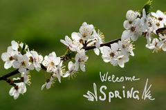 Filial av den körsbärsröda blomningen med härliga vita blommor Royaltyfri Fotografi