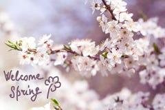 Filial av den körsbärsröda blomningen med härliga vita blommor Royaltyfri Foto