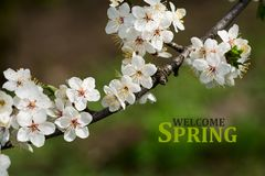 Filial av den körsbärsröda blomningen med härliga vita blommor Hälsningar fjädrar Royaltyfria Foton