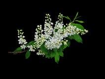 Filial av den körsbärsröda dusen för Prúnus pá med blommor på en svart bakgrund Arkivfoton