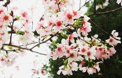 Filial av den nya blomningen rosa sakura i Tianyuanen Arkivbild