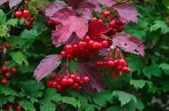 Filial av den röda viburnumen i trädgården Arkivbild