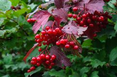 Filial av den röda viburnumen i trädgården Arkivbilder