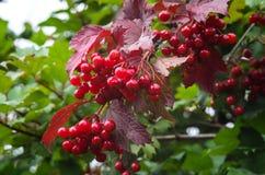 Filial av den röda viburnumen i trädgården Royaltyfria Foton