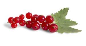 Filial av den röda vinbäret Royaltyfria Bilder