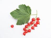 Filial av den röda vinbäret Arkivfoto