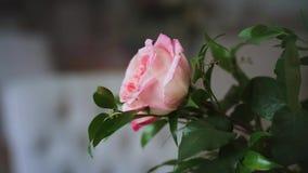 Filial av den rosa rosen med gröna sidor