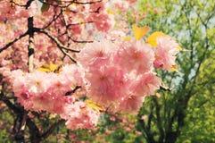 Filial av den sakura blomningen i tappningstilbakgrund Arkivbilder